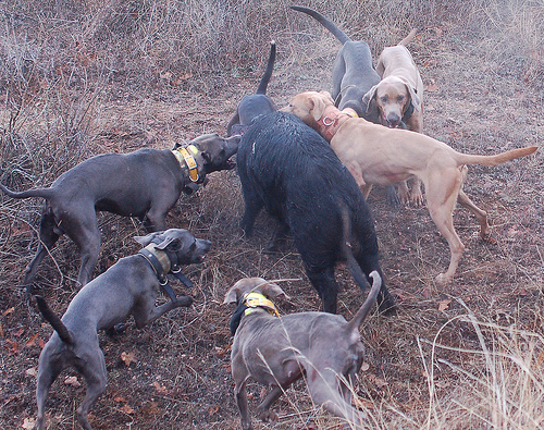 Hog Hunting and Baying with Lacy Dogs